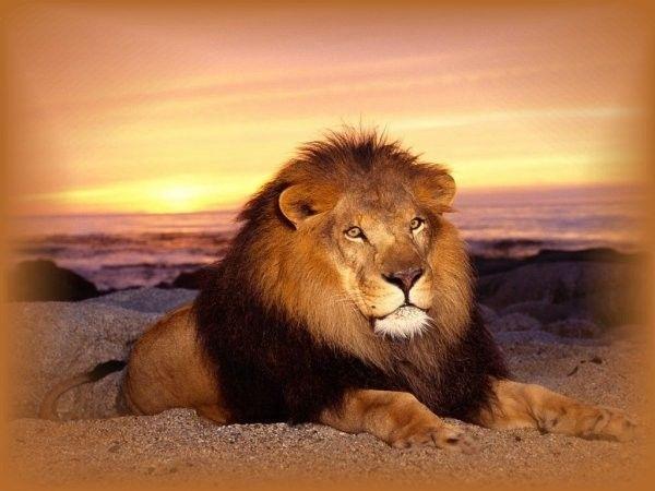 Assez belles images animaux lion lionne NL05